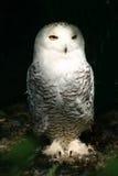 6 owl snowy white Στοκ Εικόνες