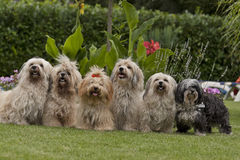 A 6 pack of havanese dogs Stock Image
