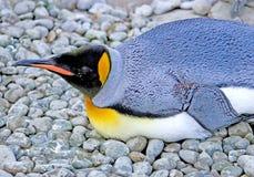 6 pingwin króla Obrazy Stock