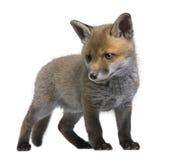 6 semaines rouges de vulpes de renard d'animal vieilles photos libres de droits