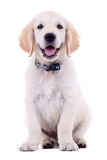 6 semanas Labrador velho Fotografia de Stock Royalty Free