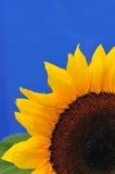 6 serii studio słonecznika obraz stock