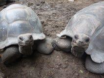 6 stora seychelles sköldpaddor Arkivfoto