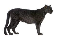 6 svarta leopardår Arkivbilder