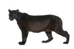 6 svarta leopardår Arkivfoto
