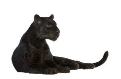 6 svarta leopardår Arkivfoton