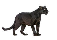 6 svarta leopardår Royaltyfri Fotografi