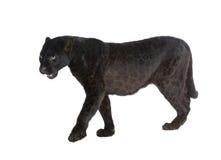 6 svarta leopardår Fotografering för Bildbyråer