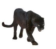 6 svarta leopardår Royaltyfri Foto