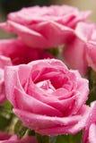 6 täta rosa rose övre arkivfoto