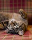 6 tło kota szkocka krata Obraz Royalty Free