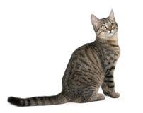 6 trakenu kota catus felis mieszanych miesiąc starych Zdjęcie Royalty Free