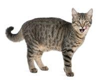 6 trakenu kota catus felis mieszanych miesiąc starych Zdjęcie Stock