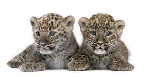 6 veckor för gröngölingleopardperser Arkivbild