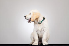 6 weeks old labrador. 6 weeks old, adorable and curious Golden Retriever puppy Royalty Free Stock Images