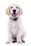 6 weken oud Labrador Royalty-vrije Stock Fotografie