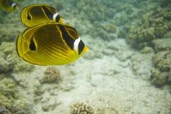 605 rafa koralowa obrazy stock