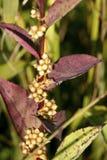 общее 605468 капсул dodder семя Стоковые Изображения RF