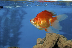 606625 goldfish czerwony ryukin biel Zdjęcie Royalty Free