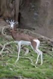 6192 gazel mg mhorr Zdjęcie Stock