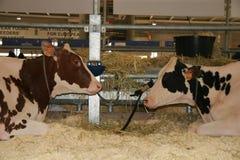65th International Trade Fair Dairy Cattle Royalty Free Stock Photos