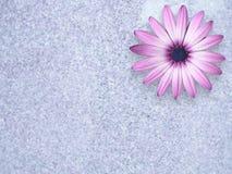 6692朵雏菊波兰石头 库存照片