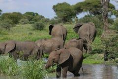 69 jonge olifant die in vijver eet Stock Foto's
