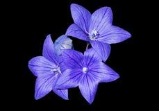 6朵蓝色花grandiflorus platycodon 免版税库存图片