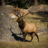 6X6 Bull Elk. In Horseshoe Park, Rocky Mountain National Park Royalty Free Stock Photos
