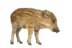 7个公猪星期通配年轻人 免版税库存图片