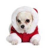 7个奇瓦瓦狗外套月圣诞老人 免版税库存图片