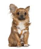 7个奇瓦瓦狗月坐 免版税库存照片