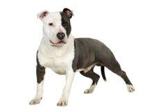 7个美国月斯塔福郡狗 免版税库存照片