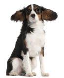 7个骑士查尔斯国王月西班牙猎狗 免版税库存照片