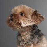 7几年约克夏的接近的老狗 库存照片