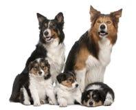 7博德牧羊犬男性老年 免版税库存图片