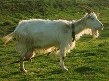 7变白的山羊保姆 库存照片
