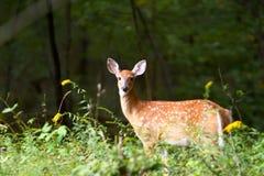 7只小鹿夏天 库存图片
