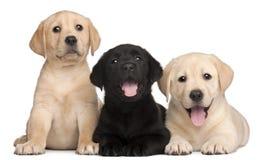 7只拉布拉多老小狗三个星期 免版税库存图片
