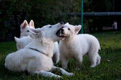 7只狗绵羊瑞士白色 库存照片