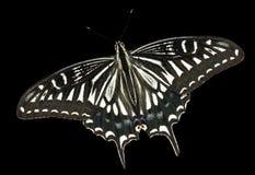7只蝴蝶papilio xuthus 库存照片