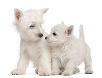 7只西方高地老小狗的狗二个星期 免版税库存照片