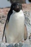 7只阿德力企鹅企鹅 免版税图库摄影