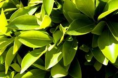 7叶茂盛的灌木 免版税图库摄影