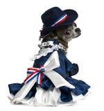 7奇瓦瓦狗穿戴了几年的老开会 免版税库存照片