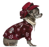 7奇瓦瓦狗老成套装备坐的冬天年 图库摄影