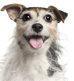 7接近的几年的插孔老罗素狗 库存图片