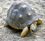 7放热的草龟 免版税库存图片