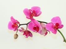 7朵兰花粉红色 免版税库存照片