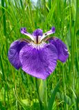 7朵花虹膜 免版税库存图片